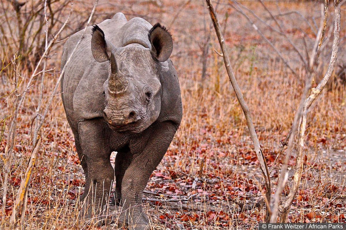 WWF rhino 02